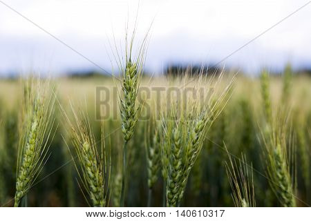 Grain head of wheat, triticum, triticeae plant against field background