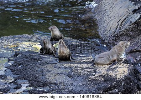 Seals in the Milford Sound Southland South island New Zealand