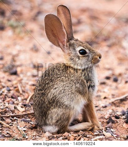 Wild baby cottontail rabbit in Arizona desert