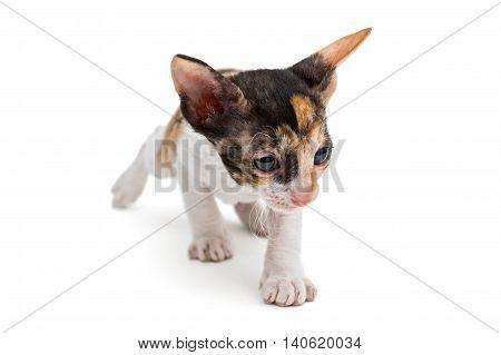 Little kitten Cornish Rex isolated on white