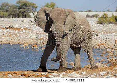Large African bull elephant (Loxodonta africana) at a waterhole, Etosha National Park, Namibia