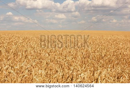 Field sown with wheat in anticipation of the harvest, rustic style, agriculture