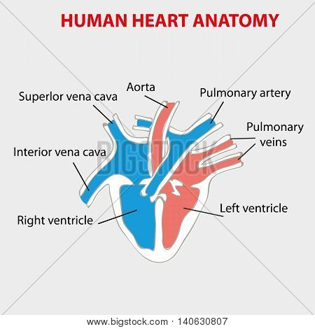 The human heart anatomy scheme vector infographic.
