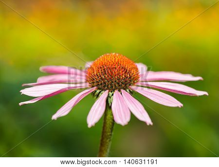 Echinacea flower on an abstract colored background close-up