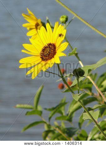 Wild Kansas Sunflower