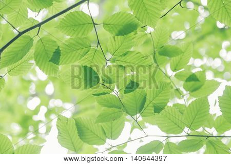 Toned image of delicate looking beech tree leaves.