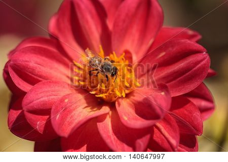 Red Dahlia flower called Fascination with a honeybee, Apis mellifera, gathering pollen in summer.