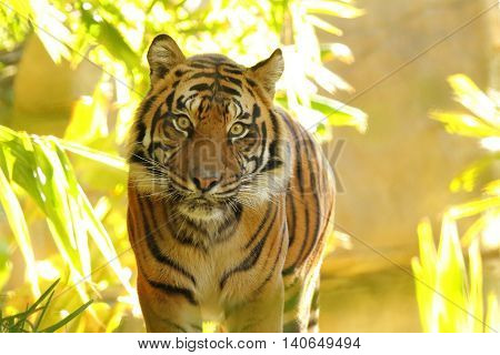 The intense eyes of an approaching Tiger in a tropical jungle.