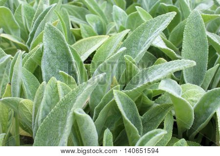 Natural backgound of soft green lamb's ear stachys byzantina leaves.