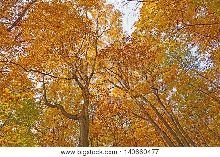 Looking up into the Fall Colors in the Morton Arboretum in Lisle Illinois