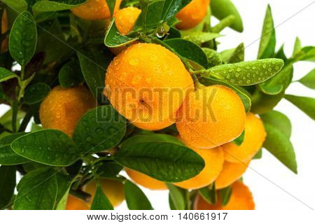 ripe fruit on the tree, tangerine