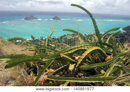 Hawaii cactus with the Twin Islands in the background