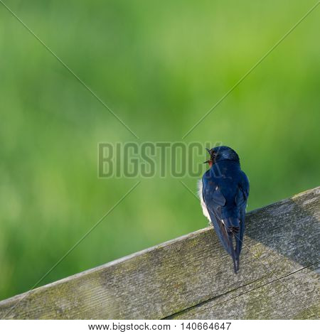 common house Martin on wooden fence in agricultural landscape