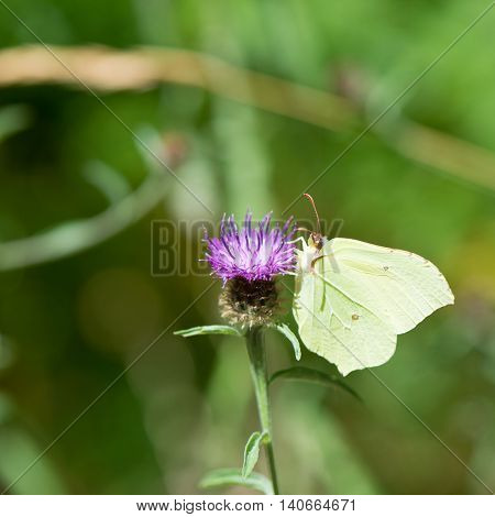 common brimstone on purple Thistle flower
