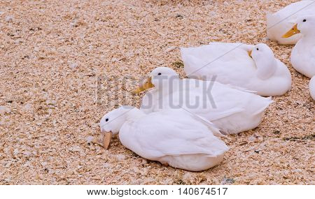 Group of white ducks ling on wooden cuttings