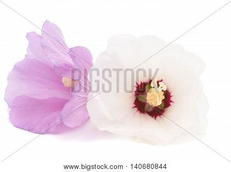 Hawaiian Pink Hibiscus flower isolated on white