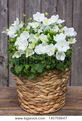 White Bellflowers In A Basket.