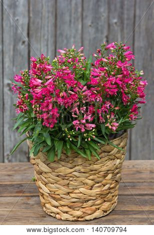 Pink Bellflowers In A Basket.