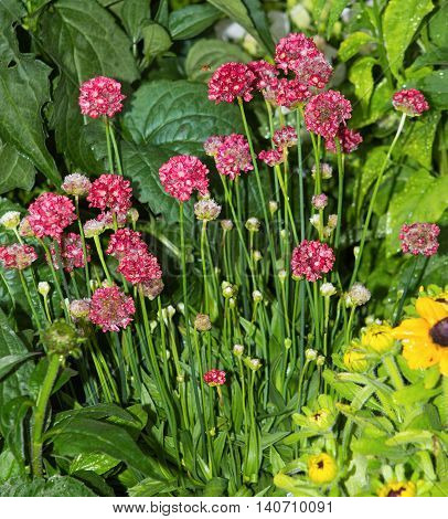 Armeria Blossoms In The Garden.