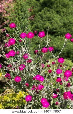 Flowerbed with Rose campion or Lychnis coronaria