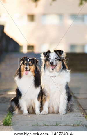 two sheltie dog posing outdoors together ain summer