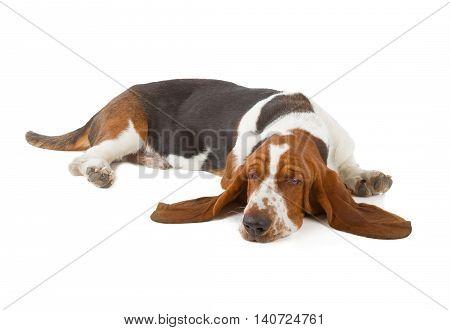 Basset Hound Dog Sleeping