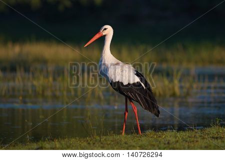 Mature White stork Ciconia on the bog