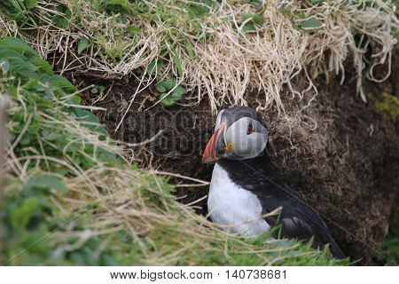 This picture shows a Puffin (Fratercula arctica) at the entrance to it's nesting burrow. The picture was taken in May, on The Isle of Lunga, which is off The west Coast of Scotland.