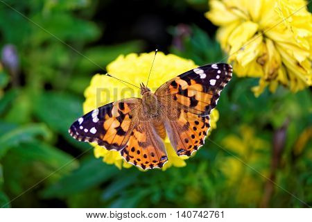Macro photograph of beautiful colorful spotted butterfly with outspread wings (Vanessa cardui, Painted lady, Pyrameis cardui) alighted on a blooming yellow flower
