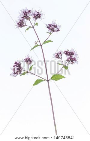 Oregano with pink flower spice and herbal medecine