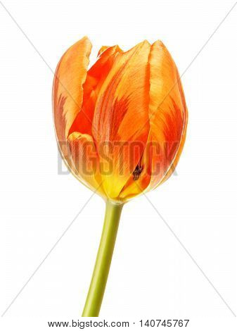 orange tulip flower, isolated on white background