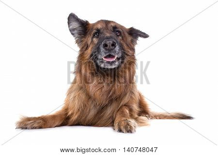 german sheperd in white studio watching the camera with funny expression.