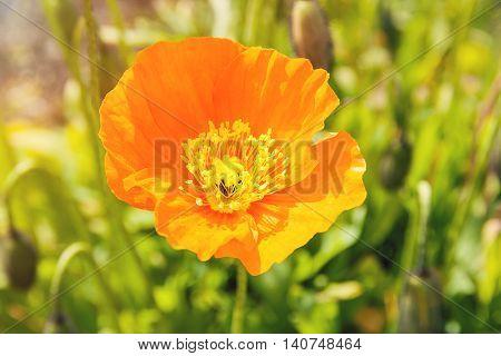 Vivid orange flower colour. Wildflower with sun light.
