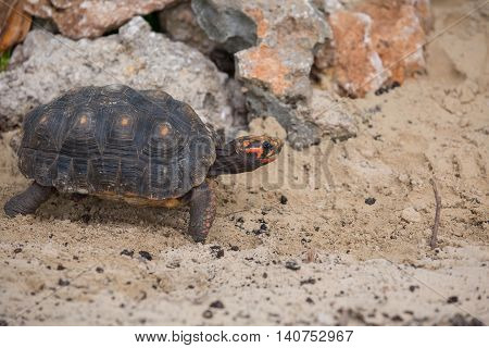 Walking turtle in the sand in tropical environment