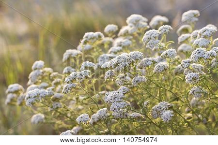 thickets of medicinal yarrow flowers in sunset sunlight