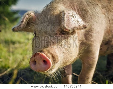 pig muzzle close-up on a background of green meadows