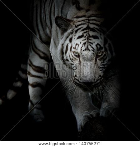 Closeup black and white tiger on black color background