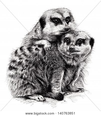 An ink drawing of a pair of meerkats huddled together.
