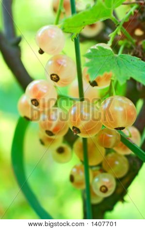 Berries Of White Currants