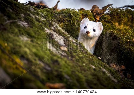 weasel found in a forest in springtime