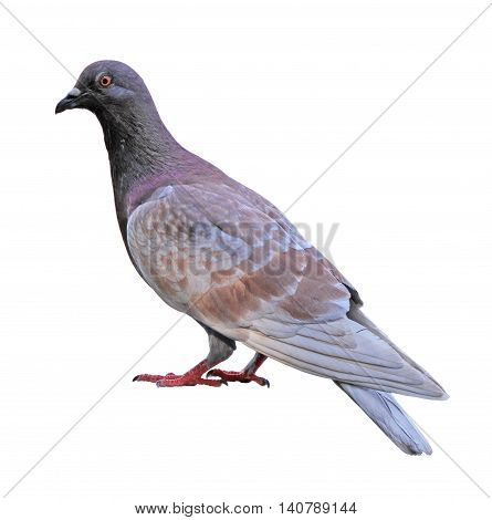 Brown feral pigeon isolated on white background