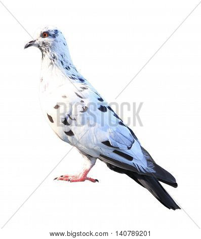 White feral pigeon isolated on white background