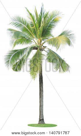 Singel coconut tree isolated on white background