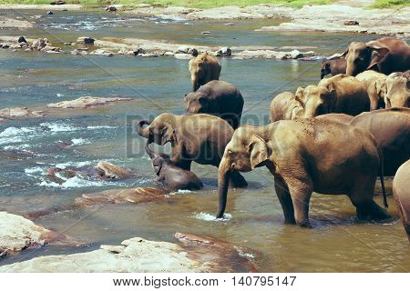 Pinnawala Elephant Orphanage. Many elephants bathing in the river. Sri Lanka beautiful landscape of the jungle and of elephants in the river. View of the jungle with palm trees and blue sky.