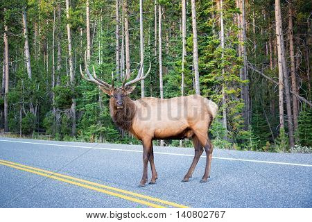 Elk Crossing A Road