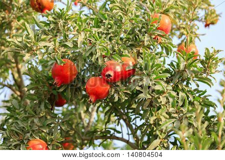Red Ripe Pomegranates On A Tree