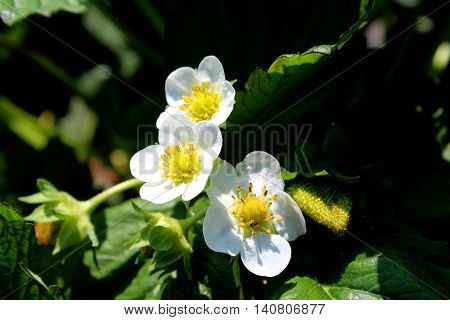 Strawberry blossoms blooming in the orchards for strawberry picking.