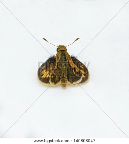 A butterfly, a Peck's Skipper ( Polites peckius) shown from above, against a white background.