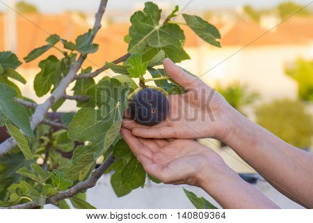 figs on the fig tree, person grabs a fig from the fig tree