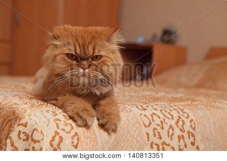 Red cat lying on the sofa. Portrait of a beautiful orange Persian cat